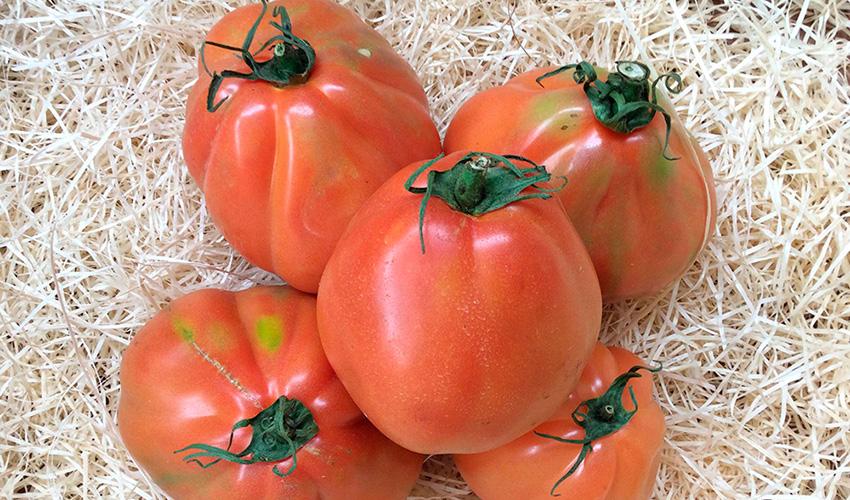 Ox Tomato szívében